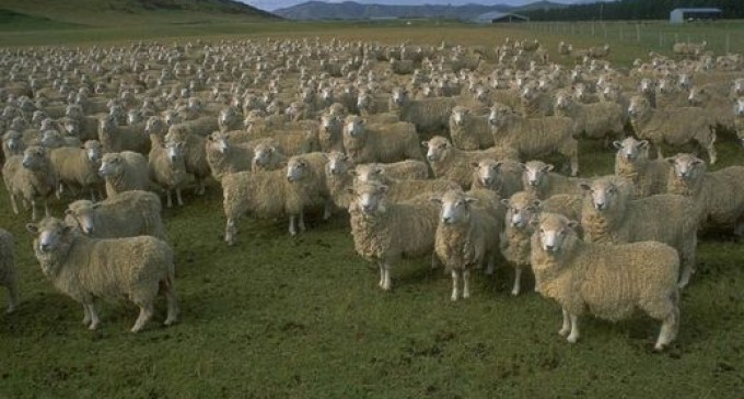 moutons02-680x365